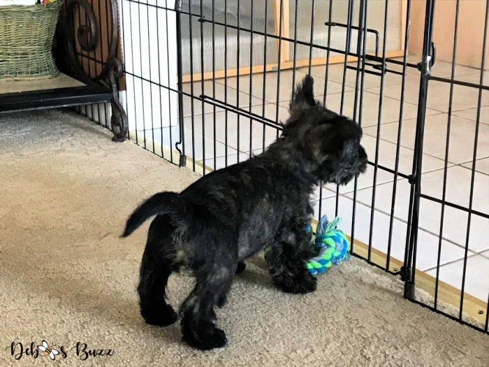 Scottie-puppy-gate