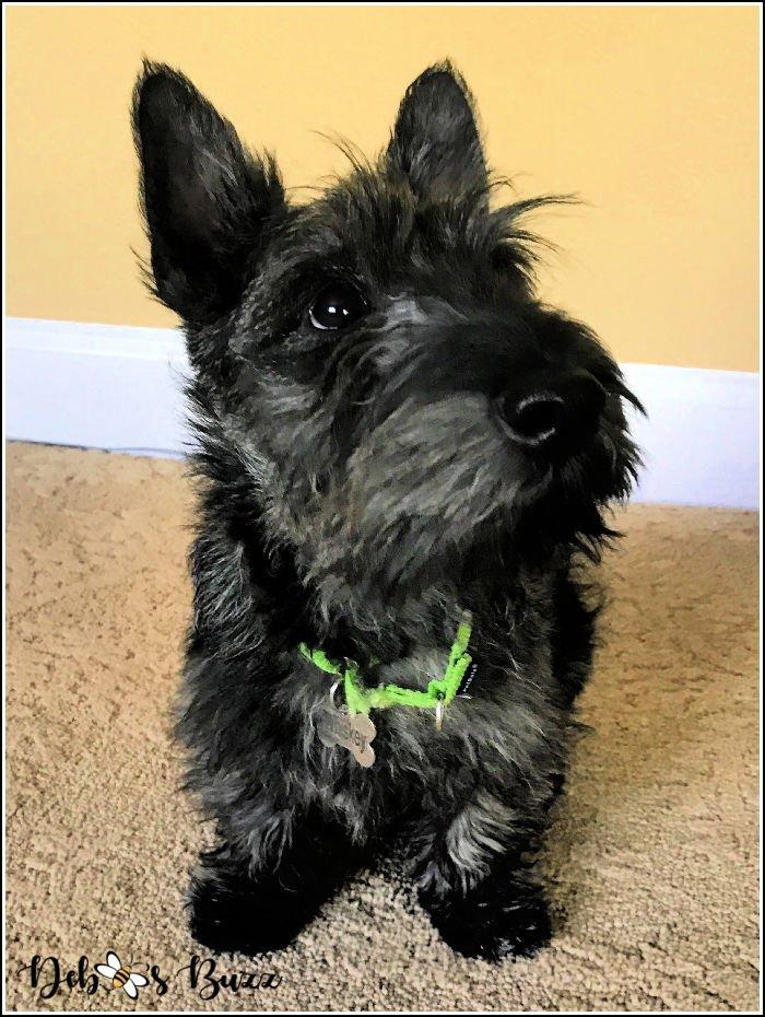 Whiskey-4-month-Scottie-puppy