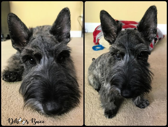 Energetic & Playful Scottie Puppy: 6 Month Update
