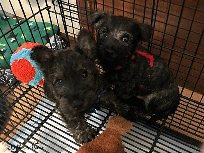 pair-brindle-Scottie-puppies-9-weeks