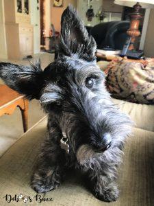 brindle-Scottie-6-month-puppy-head-tilt